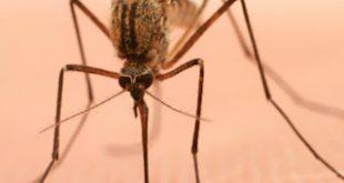 Δημιουργήθηκαν από 'Ελληνα επιστήμονα στις ΗΠΑ κουνούπια ανθεκτικά στον ιό του δάγκειου πυρετού