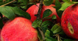 «Ελύμνιον Ρόδι», μία εταιρεία με προοπτικές στην καλλιέργεια και τυποποίηση προϊόντων ροδιού