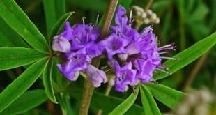 Λυγαριά, βότανο κατάλληλο για γυναικολογικά προβλήματα, πόνους περιόδου, ακμή, αντιαφροδισιακό