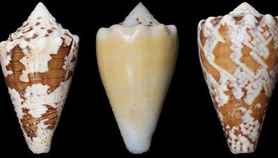 Νέο ισχυρό αναλγητικό από το δηλητήριο ενός θαλάσσιου σαλιγκαριού