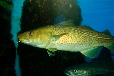 Μπακαλιάρος (βακαλάος) ψάρι πλούσιο σε ασβέστιο, μαγνήσιο, φωσφόρο, σίδηρο, κάλιο, Β12 και Ω3 λιπαρά