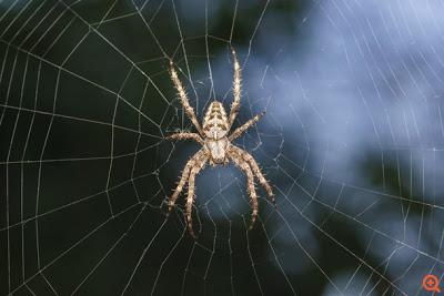 Το δηλητήριο αράχνης προστατεύει τον ανθρώπινο εγκέφαλο από τις βλάβες ενός εγκεφαλικού επεισοδίου