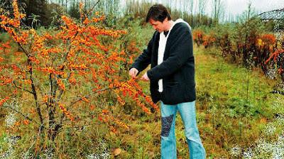 «Μαγνητίζει» τους Έλληνες παραγωγούς η καλλιέργεια ρωσικών ποικιλιών ιπποφαούς
