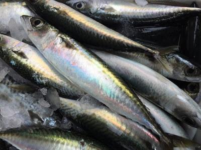 Κολιός, ψάρι με μεγάλη διατροφική αξία σε ωμέγα-3 λιπαρά οξέα. Οι διαφορές του από το σκουμπρί