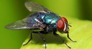 Οι μύγες μεταφέρουν περισσότερα μικρόβια και εξαπλώνουν διάφορες ασθένειες