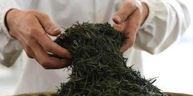 Κίνα: Επιστήμονες ολοκληρώνουν την ακολουθία του γονιδιώματος του φυτού του τσαγιού