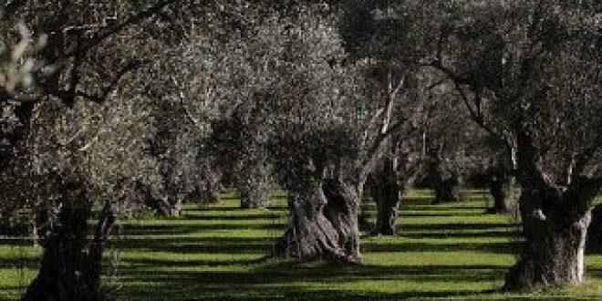 """Ελαιόδεντρα με βιβλιάρια """"υγείας"""" για την αντιμετώπιση των επιπτώσεων της κλιματικής αλλαγής"""