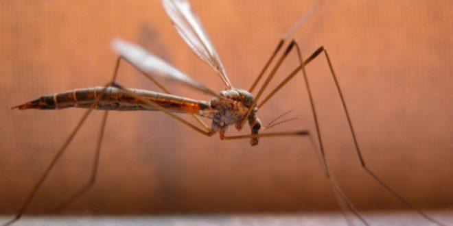 Πώς μεταδίδεται ο ιός του Δυτικού Νείλου από τα κουνούπια στον άνθρωπο